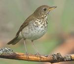 Designing Sustainable Landscapes: Representative Species Model: Bicknell's Thrush (Catharus bicknelli) by William V. DeLuca