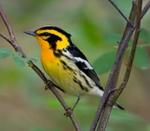Designing Sustainable Landscapes: Representative Species Model: Blackburnian Warbler (Setophaga fusca) by William V. DeLuca