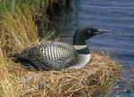 Designing Sustainable Landscapes: Representative Species Model: Common Loon (Gavia immer) by William V. DeLuca