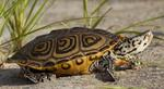 Designing Sustainable Landscapes: Representative Species Model: Northern Diamondback Terrapin (Malaclemys terrapin) by William V. DeLuca