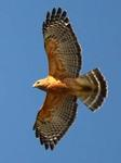 Designing Sustainable Landscapes: Representative Species Model: Red-shouldered Hawk (Buteo lineatus) by William V. DeLuca