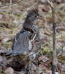 Designing Sustainable Landscapes: Representative Species Model: Ruffed grouse (Bonasa umbellus) by William V. DeLuca