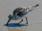 Designing Sustainable Landscapes: Representative Species Model: Sanderling (Calidris alba) –migratory period