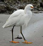 Designing Sustainable Landscapes: Representative Species Model: Snowy Egret (Egretta thula)