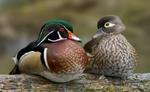 Designing Sustainable Landscapes: Representative Species Model: Wood Duck (Aix sponsa) by William V. DeLuca
