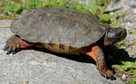 Designing Sustainable Landscapes: Representative Species Model: Wood Turtle (Glyptemys insculpta) by William V. DeLuca