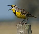 Designing Sustainable Landscapes: Representative Species Model: Eastern Meadowlark (Sturnella magna) by William V. DeLuca