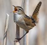 Designing Sustainable Landscapes: Representative Species Model: Marsh Wren (Cistothorus palustris) by William V. DeLuca