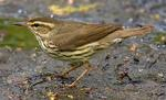 Designing Sustainable Landscapes: Representative Species Model: Northern Waterthrush (Parkesia noveboracensis) by William V. DeLuca