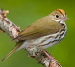 Designing Sustainable Landscapes: Representative Species Model: Ovenbird (Seiurus aurocapilla) by William V. DeLuca