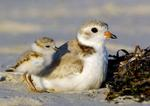 Designing Sustainable Landscapes: Representative Species Model: Piping Plover (Charadrius melodus) by William V. DeLuca