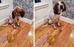 The Hound and the (Pineapple) Curry by Ann Kardos